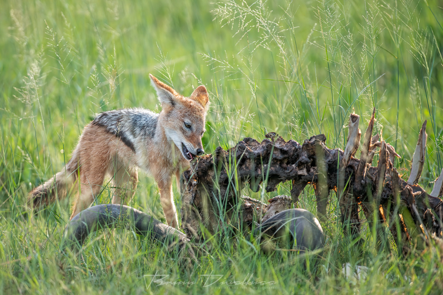 A jackal enjoys an evening snack after the other carnivores have had their fill.