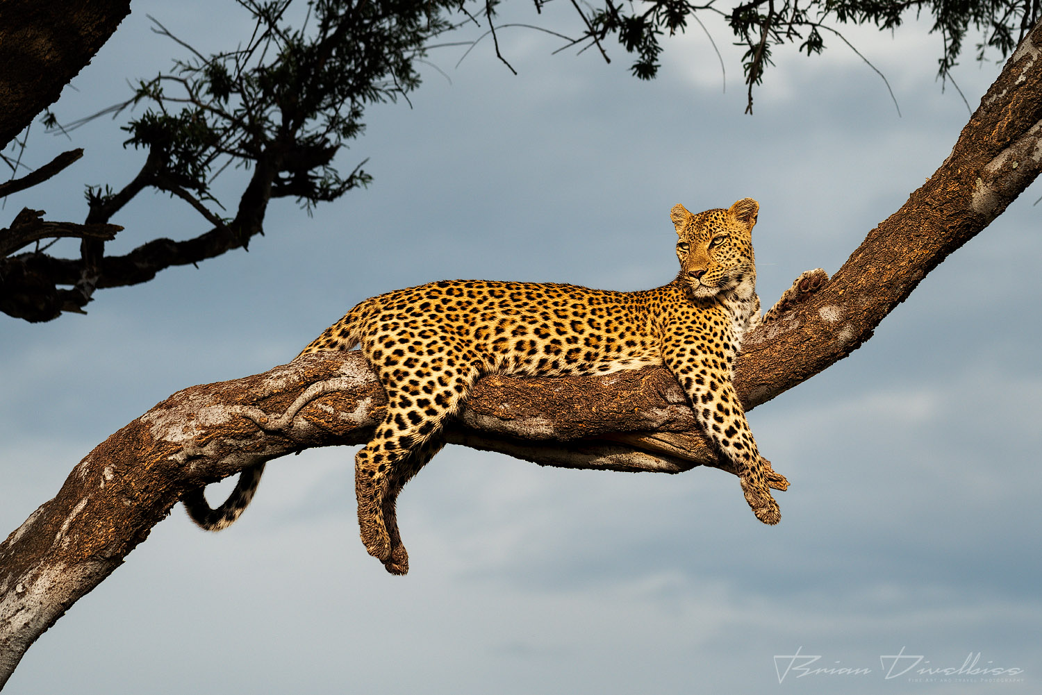 A female leopard rests in a tree far above the ground as the morning rays bathe her colorful coat.