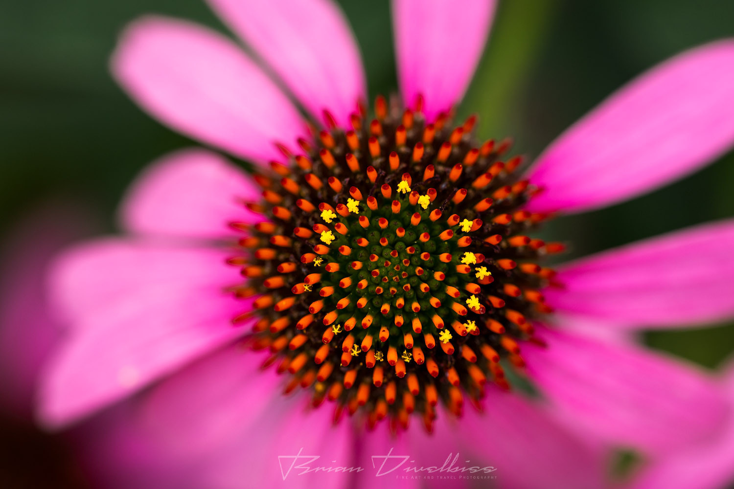 Close-up of pink flower with central pistils in focus at Powell Gardens in Missouri.