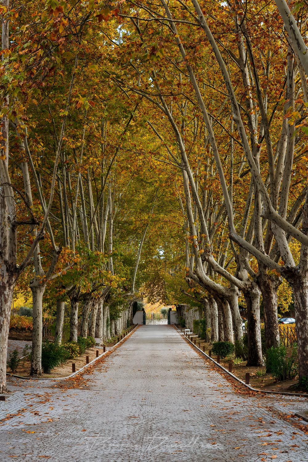 Trees with autumn leaves lining path at Quinta Da Pacheca in Vila Real, Portugal.