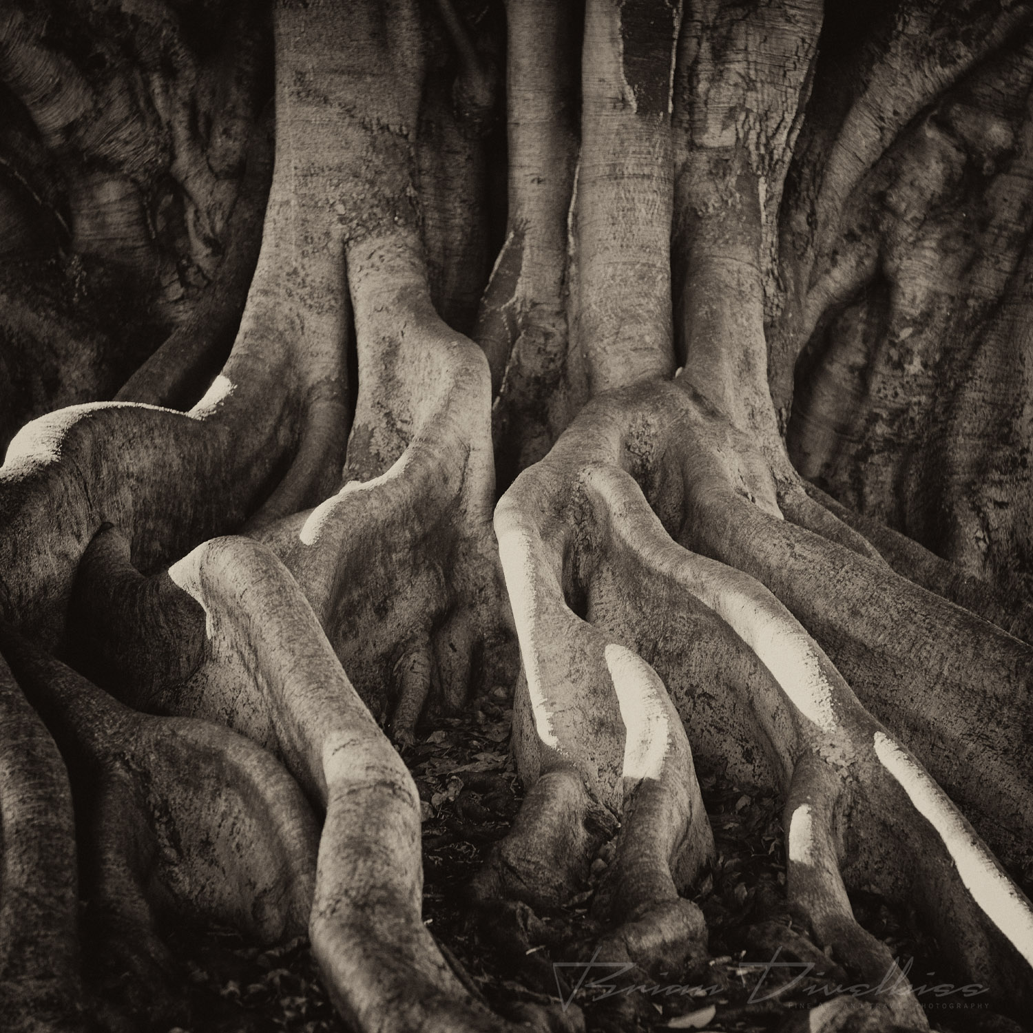 Sepia-tone flowing roots of tree in Royal Botanic Gardens in Sydney, Australia.