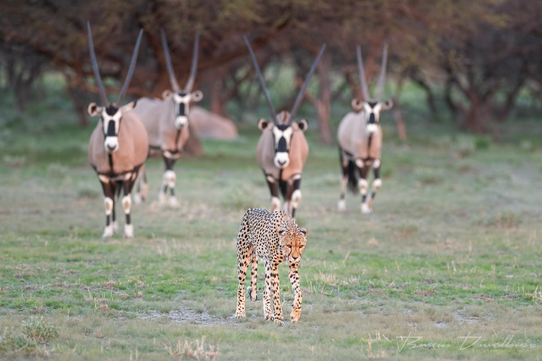 Four oryx stand guard against a female cheetah.
