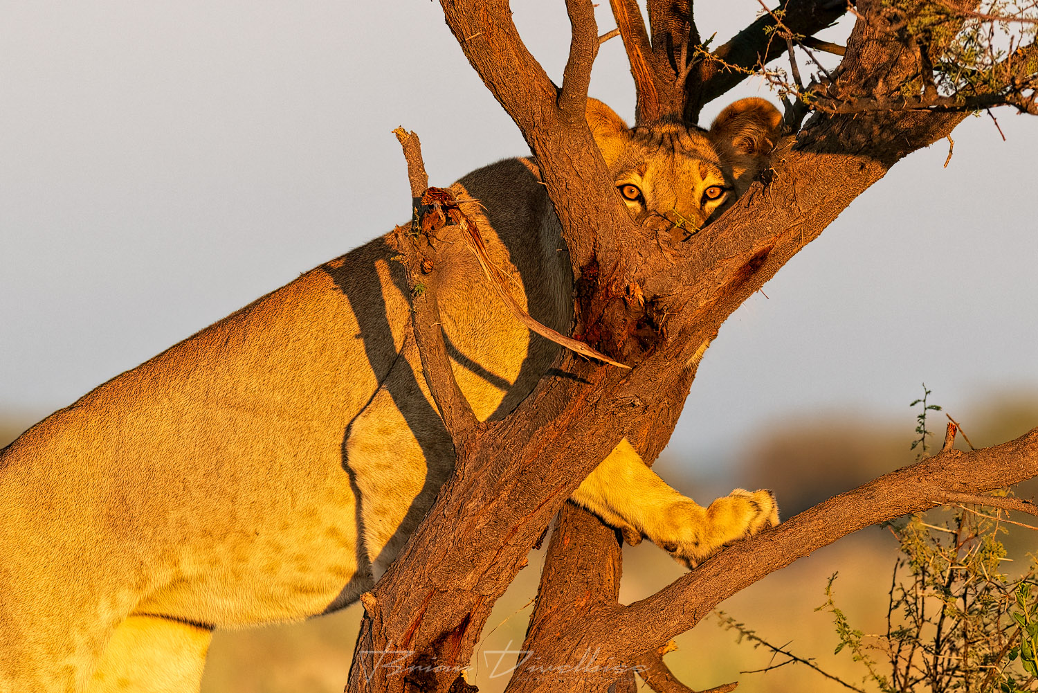 The steely eyes of a subadult lioness peering through the branches of a tree.